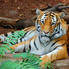 138 - Nice Kitty, Denver Zoo