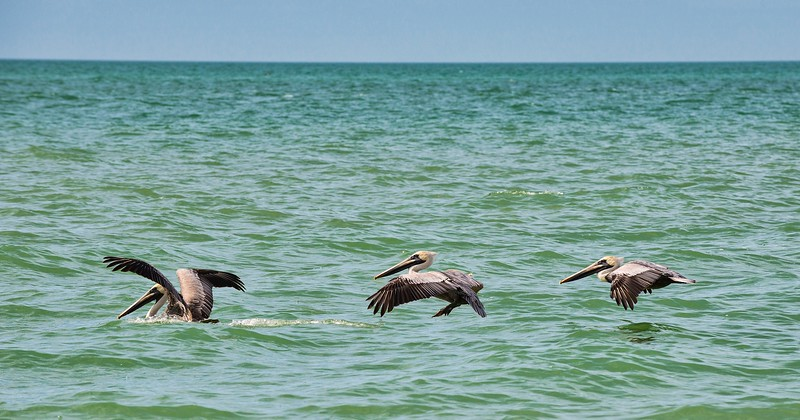 Brown Pelican landing on the Gulf