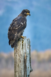 Harrison Bald Eagle 3