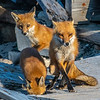 Mama Red Fox With Her Kits 5/18/21