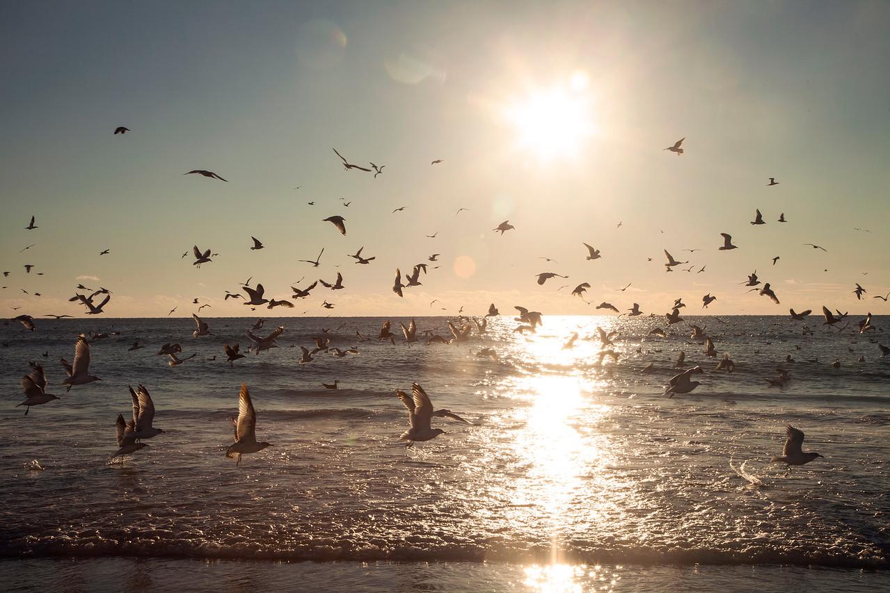 Coastal NC Seagulls