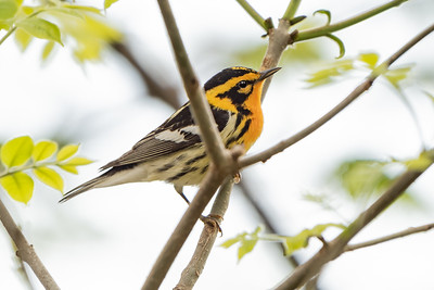 386- Blackburnian Warbler