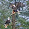 Bald Eagles Compete For A Perch