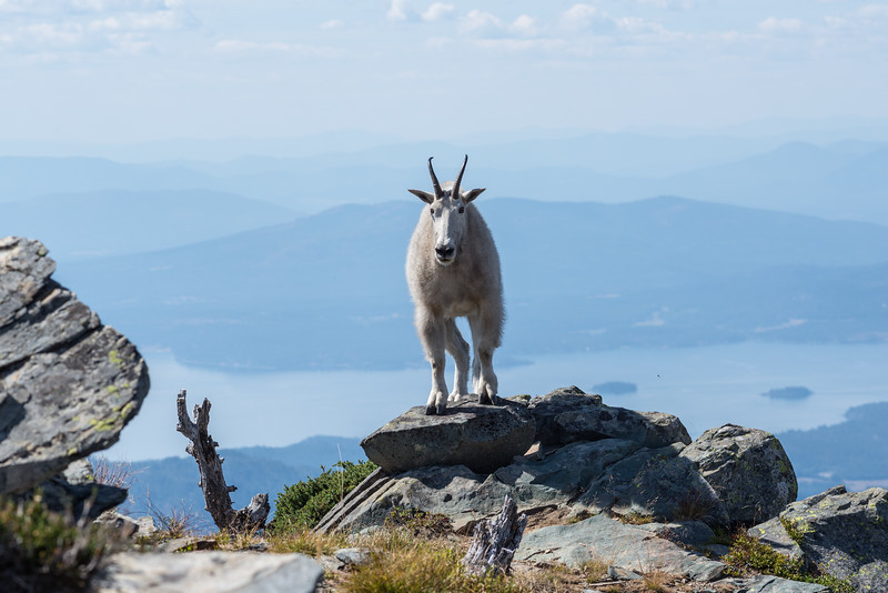 Lake Pend Oreille Goat