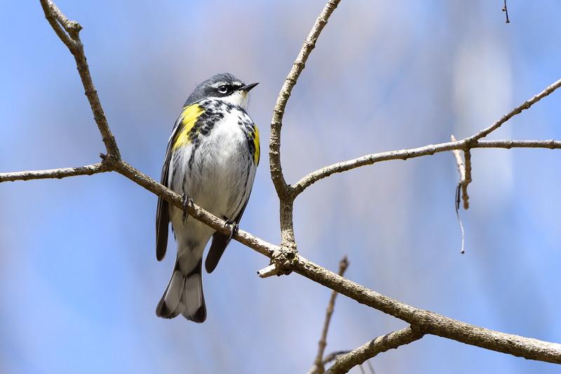 187- Yellow-rumped Warbler