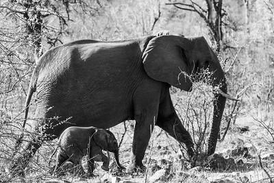 Elephant and calf, Kruger National Park, South Africa