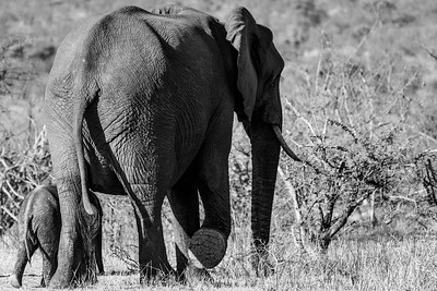 Elephant and calf, Kruger National Park, South Africa