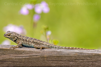 Western Fence Lizard, Vernal Pool Area