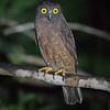 Hume's Hawk Owl