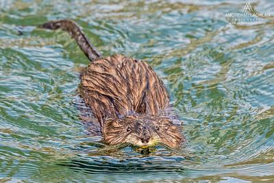 Muskrat (Ondatra zibethicus) at Grenadier Pond, Toronto, Ontario