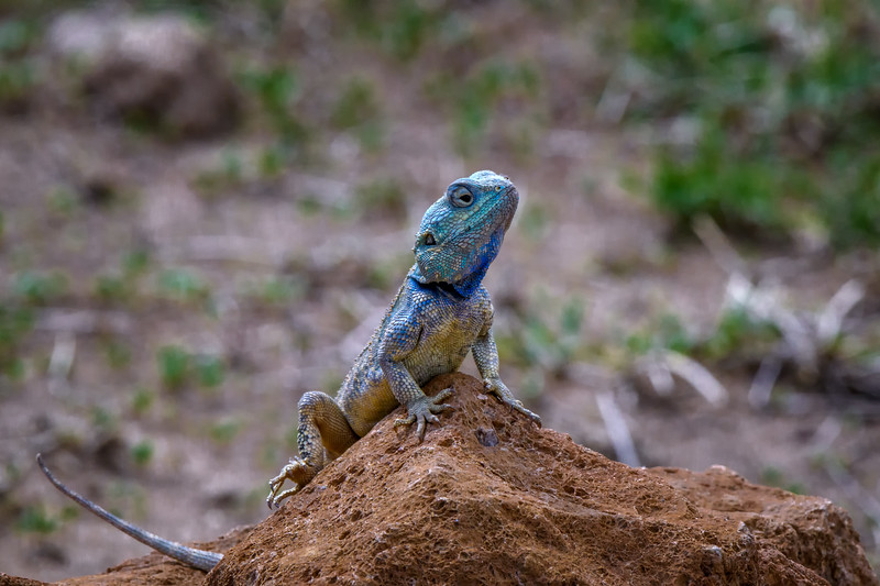 Agama lizard (Agama) on a rock, Ngorongoro Crater, Tanzania, East Africa