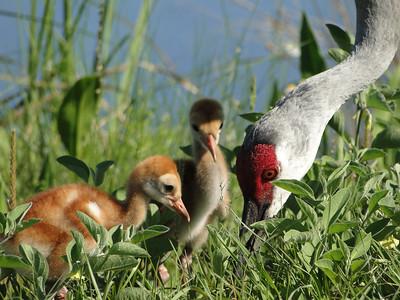 Sandhill Cranes, Adult and Colts,  Lake Woodruff Wildlife Refuge