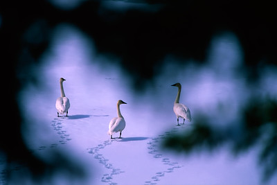 Three Trumpeter Swans walk along a frozen pond, as they are watched from the trees. Yukon, Canada.