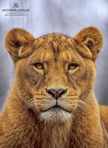 African Lion - captive