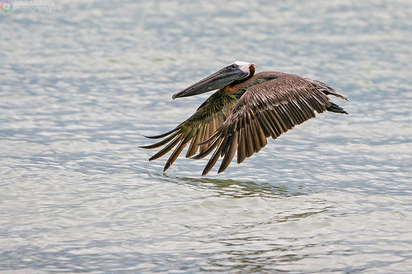 Low Fly'in Pelican