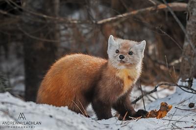 American Pine Marten (Martes americana), Algonquin Provincial Park, Ontario, Canada
