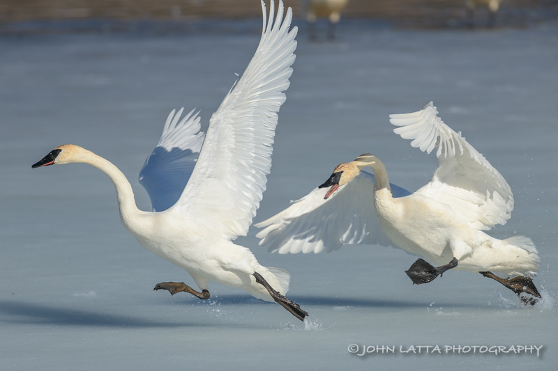 Trumpeter Swan Chase