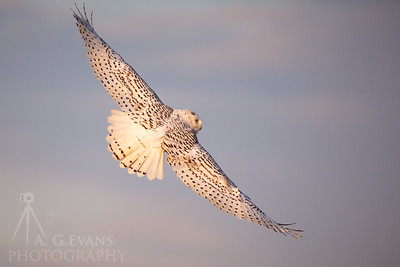 Snowy Owl in Flight 2