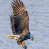 Eagle Adjusts Its Hold On Kokanee Just After Capture