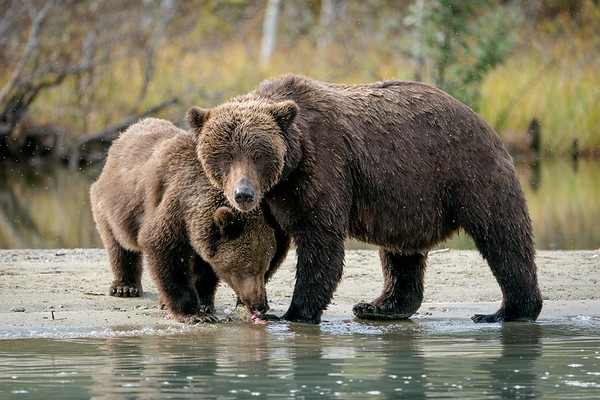 Brown bear mom and cub on Lake Clark in Alaska.