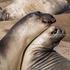 Juvenile Sparring Elephant Seals