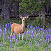 247 - Mule Deer, Tensleep Canyon, WY