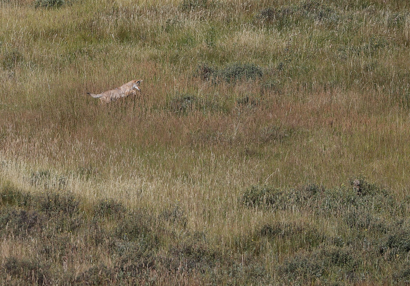 Coyote near Blacktail Ponds - Yellowstone National Park