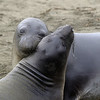 Elephant Seals at Piedras Blancas, California