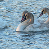 Trumpeter Swan Adults and Cygnets