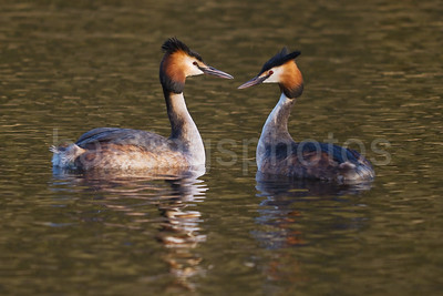 A pair of Great Crested Grebes