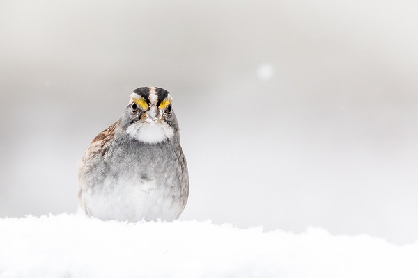 Whited-throated Sparrow