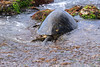 LaniakeaBeachHawaiianGreenSeaTurtle-014
