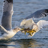 Tug of War Between Gulls
