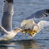Tug of War Between Gulls