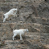 Jumping with Confidence-Mountain Goat Kid Twins
