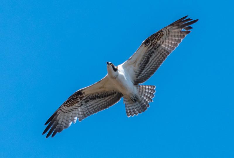 An Osprey in Flight 11/7/16