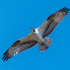 An Osprey in Flight 11/7/16