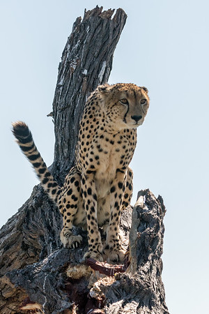 Gazing cheetah