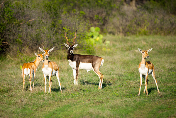 Blackbuck herd