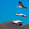 Stacked Snow Geese