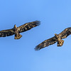 Juvenile Bald Eagles, Possibly Siblings Playing