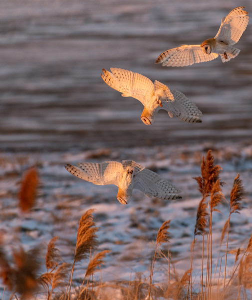 Three Capture Sequence of Barn Owl
