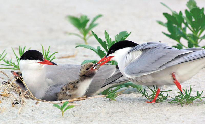 _JFF6460 Common Terns Feeding Chick ~ Plymouth MA - Copy
