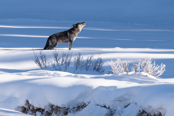Yellowstone Howl