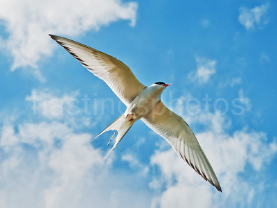 Defecating Tern