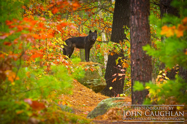 Wolves(fall5g)