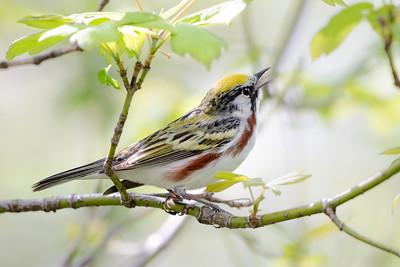 374- Chestnut-sided Warbler