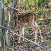 A Fawn in the Woods 5/29/16