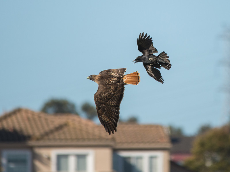 Crow vs Red Tail Hawk