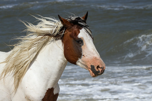 Assateague portrait